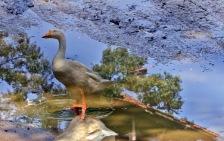 After Rain- Seekor bebek dalam refleksi air hujan di pekarangan rumah (Foto: Lydia Okva Anjelia)
